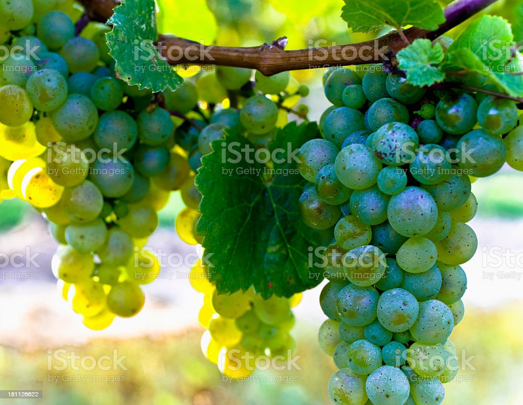Grapes on the vine. royalty-free stock photo