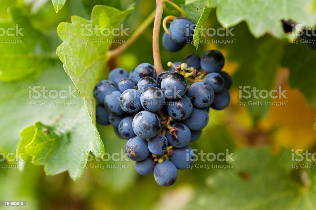 Weintrauben am Weinstock – Foto