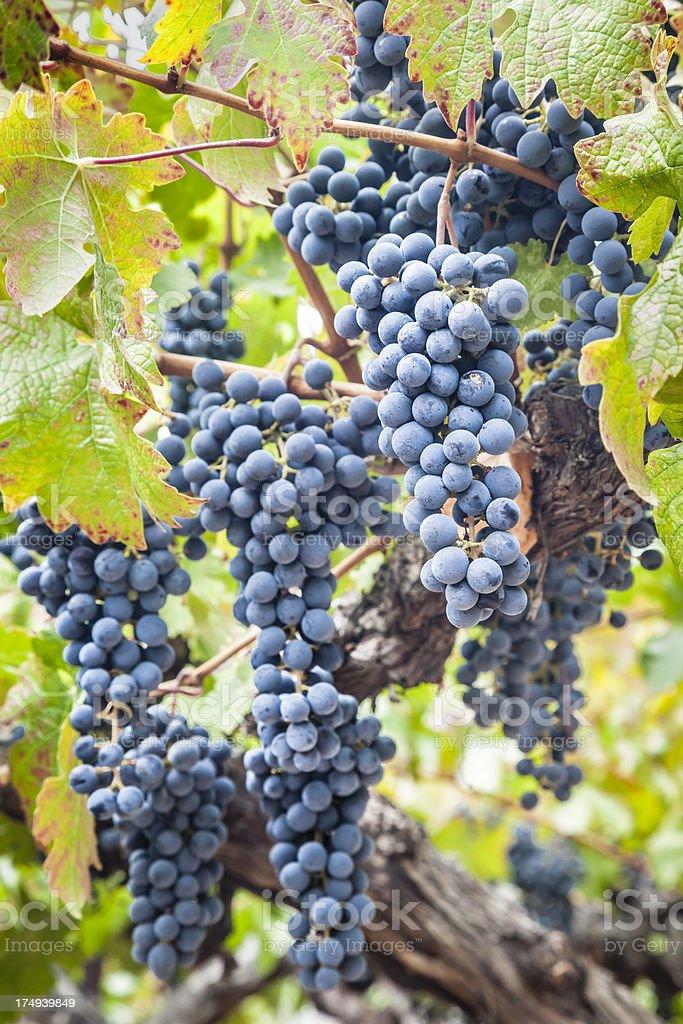 Grapes On Vine stock photo