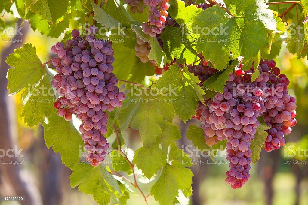 Grapes on Vineyard royalty-free stock photo