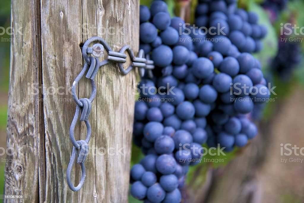 grapes on winery vine royalty-free stock photo