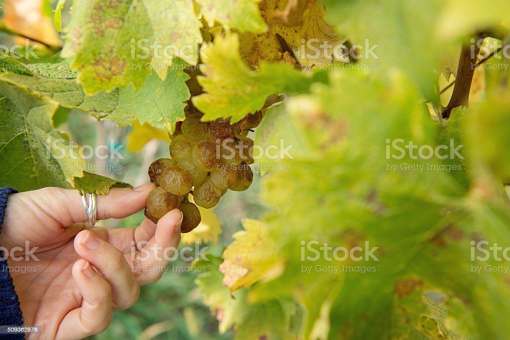 Grapes - Over-ripe closeup stock photo