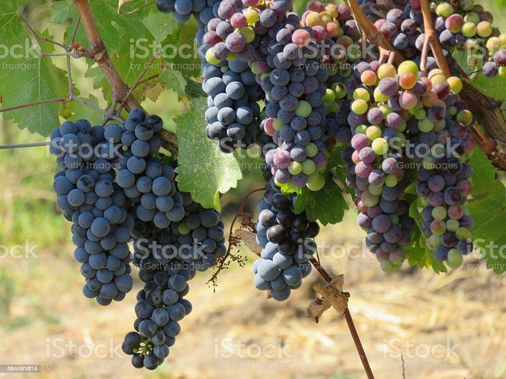 Weintrauben  Lizenzfreies stock-foto