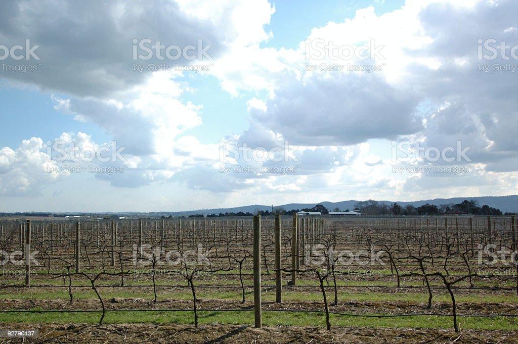 Grapes plantation royalty-free stock photo