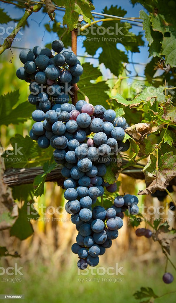 Grapes Ready for Harvest stock photo