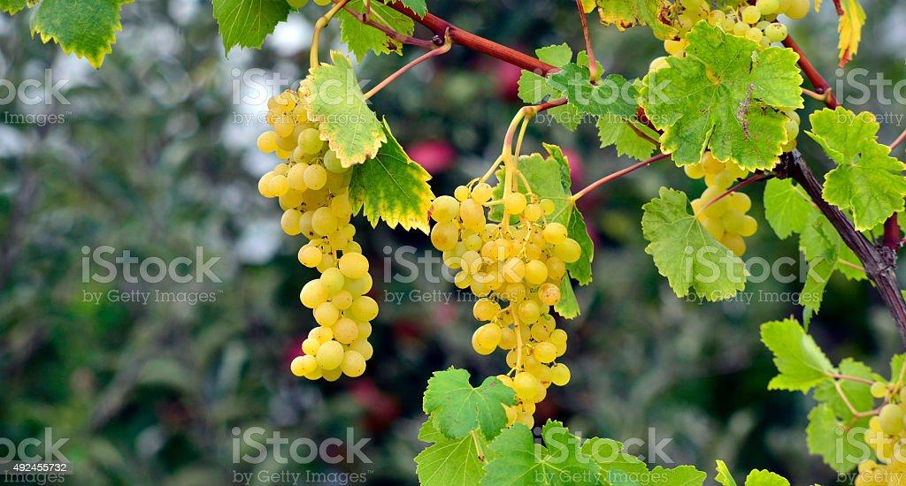 grapes ripen on the tree stock photo