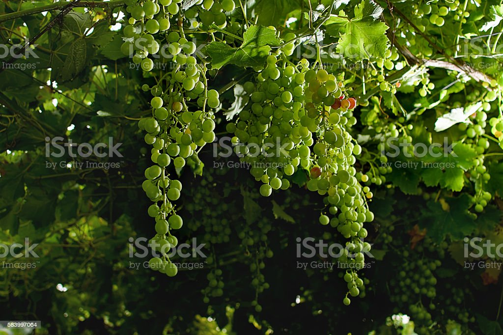 grapes ripening on the vine canopy, typical Abruzzo stock photo