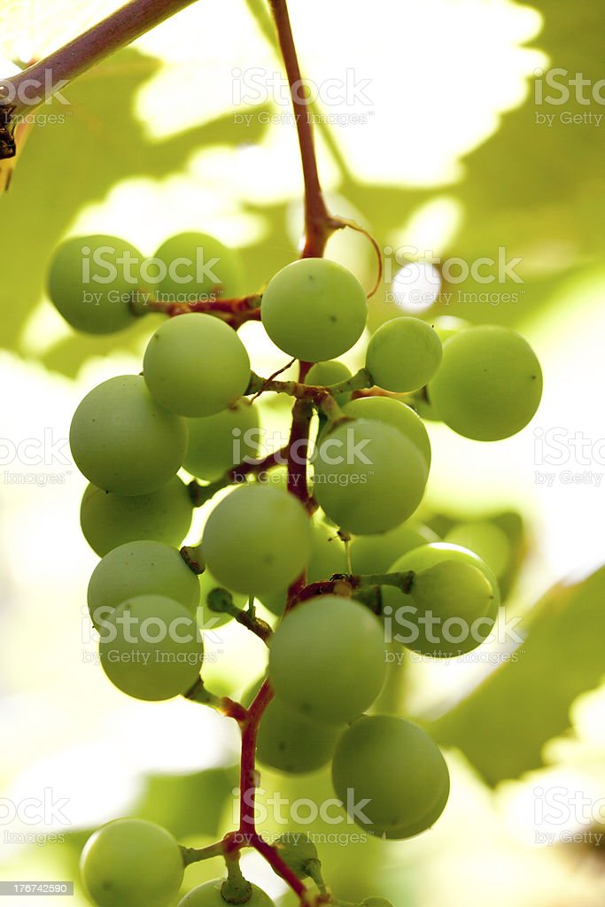grapes ripening on the vine stock photo