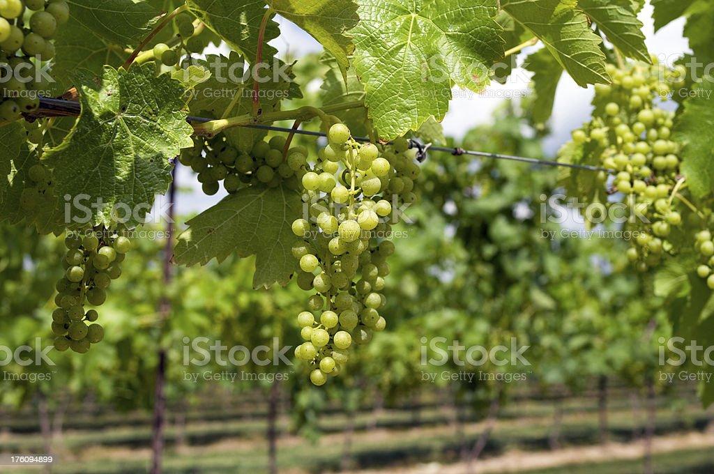 Grapes Ripening on Vine stock photo