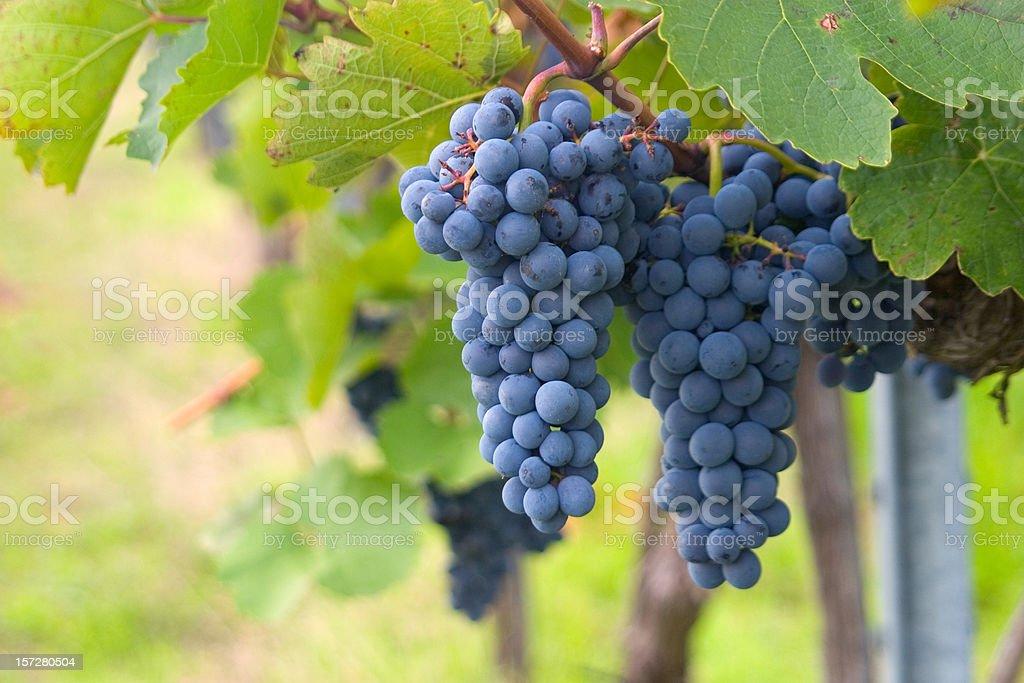 Grapes ripening vineyards royalty-free stock photo