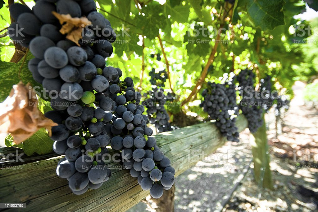 grapes - rusting on the vine royalty-free stock photo