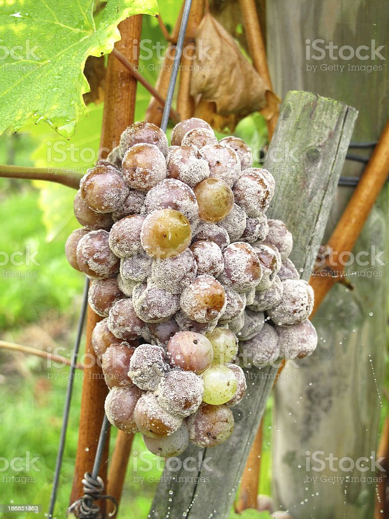 Grapes with mold stock photo