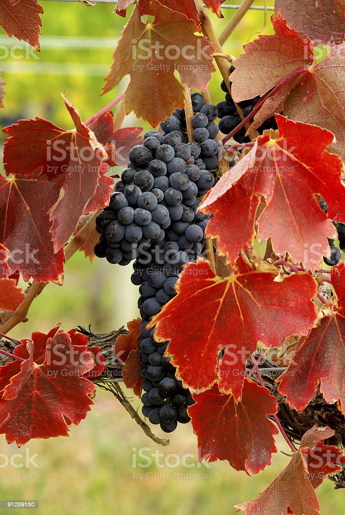 Grapes with red and green leaves royalty-free stock photo