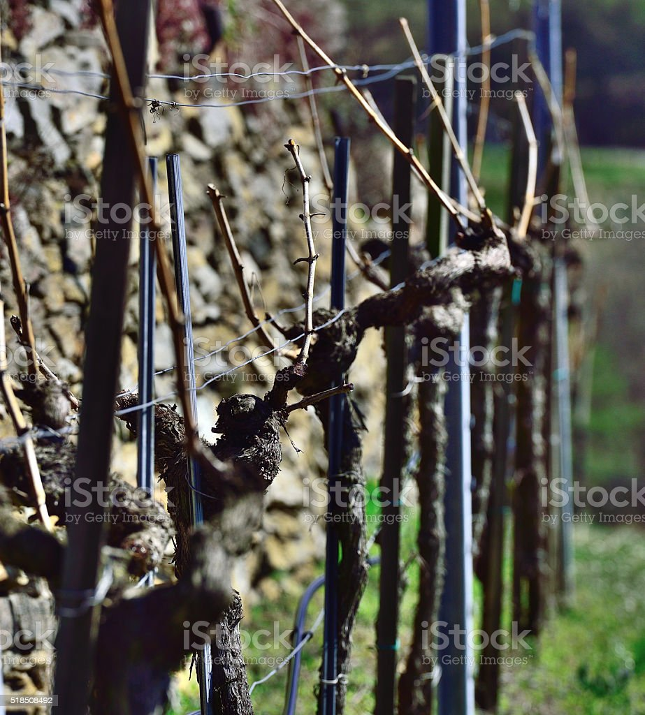 Grapevine at easter time stock photo