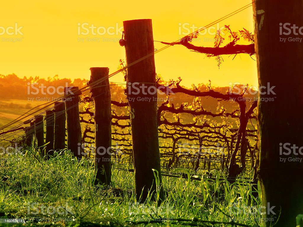 Grapevine closeup royalty-free stock photo