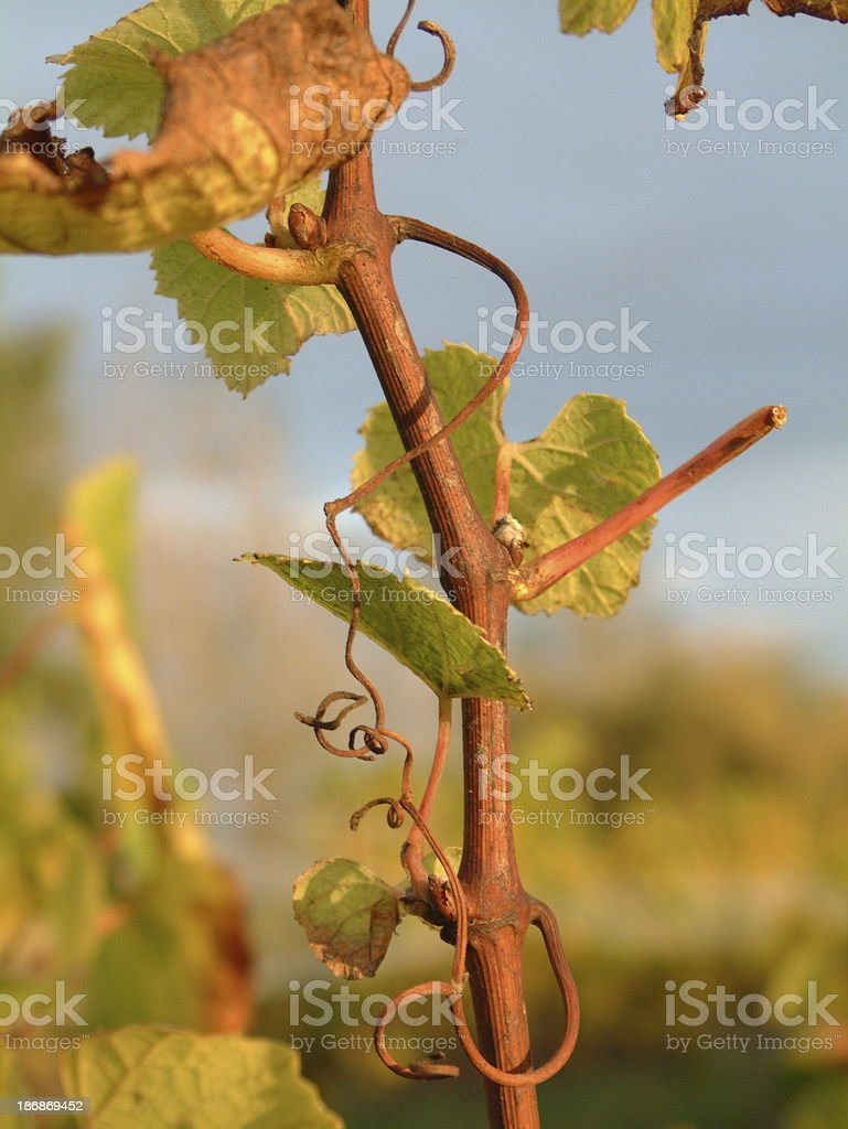 Grapevine Close-up royalty-free stock photo