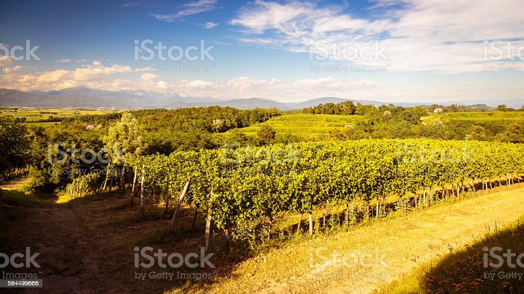 grapevine field in the italian countryside stock photo