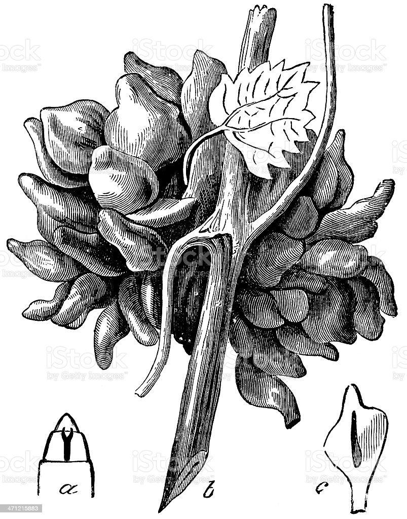 Grape-vine Filbert-gall stock photo