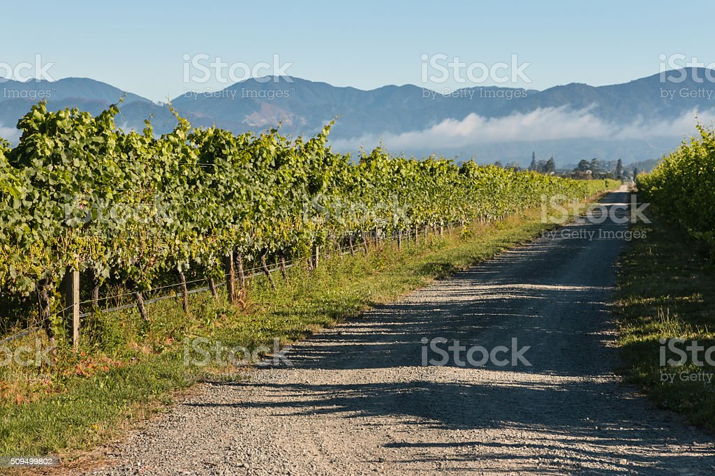 grapevine growing in vineyard stock photo