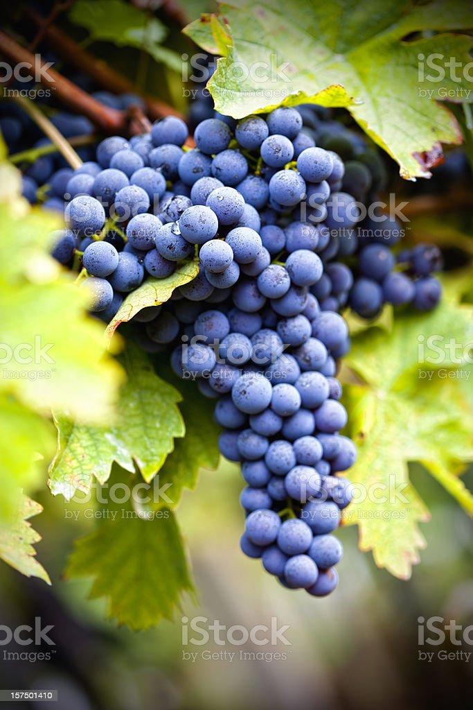 Grapevine in autumn stock photo