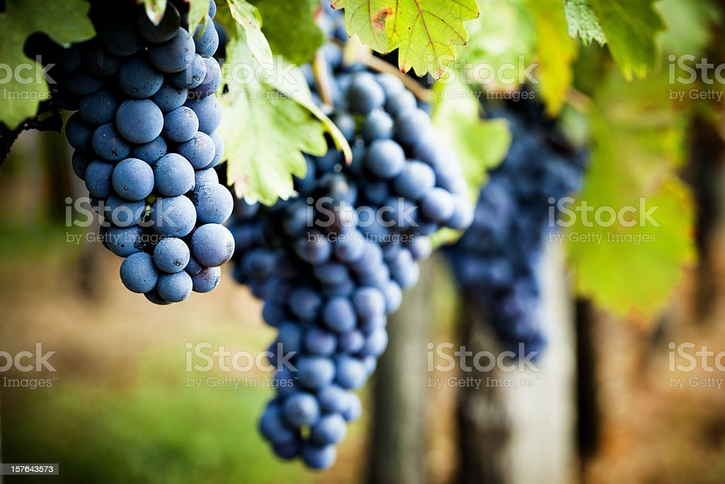 Grapevine in autumn stock photo