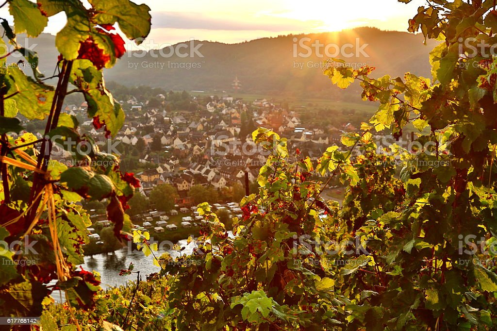 grapevine in moselle valley stock photo