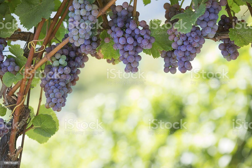 Grapevine in South Tyrol, Italy stock photo