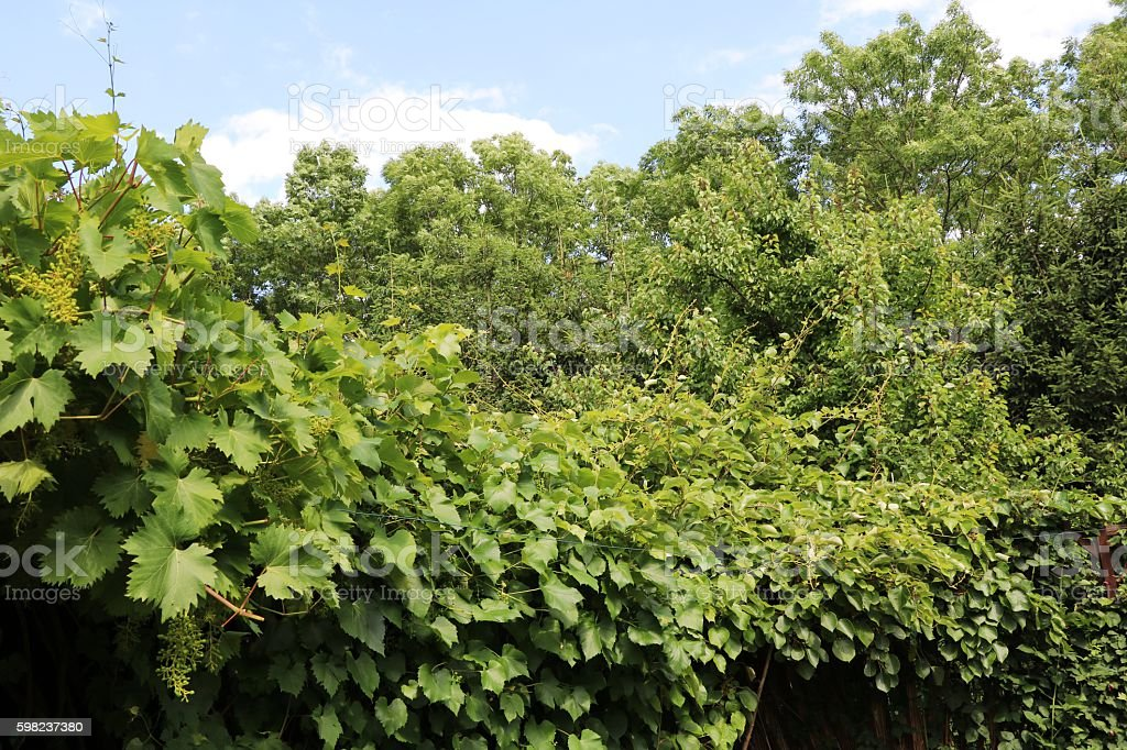 Grapevine, kiwi plant and raspberry bush in garden, Germany stock photo
