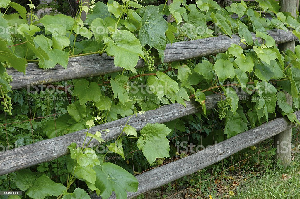 Grapevine on fence royalty-free stock photo