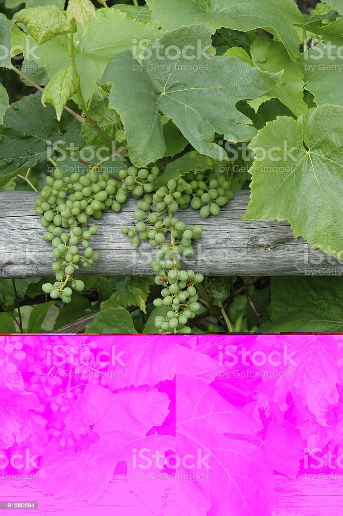 Grapevine on fence - vertical royalty-free stock photo