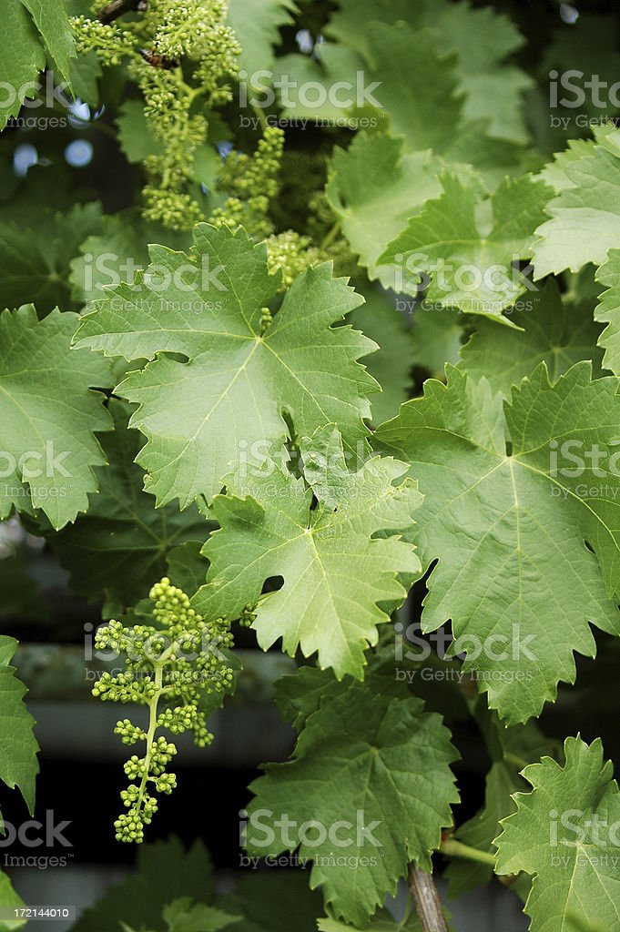 grapevine royalty-free stock photo