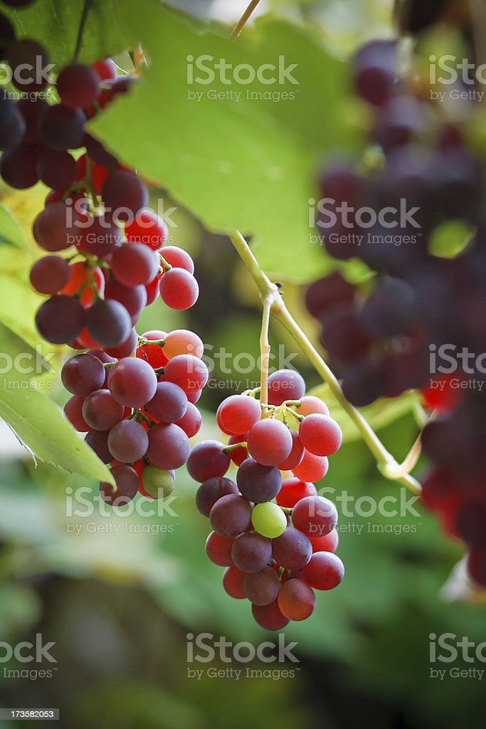 Grapevine royalty-free stock photo