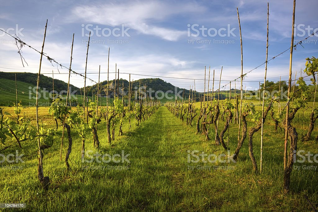 grapevine rows in tuscany land royalty-free stock photo