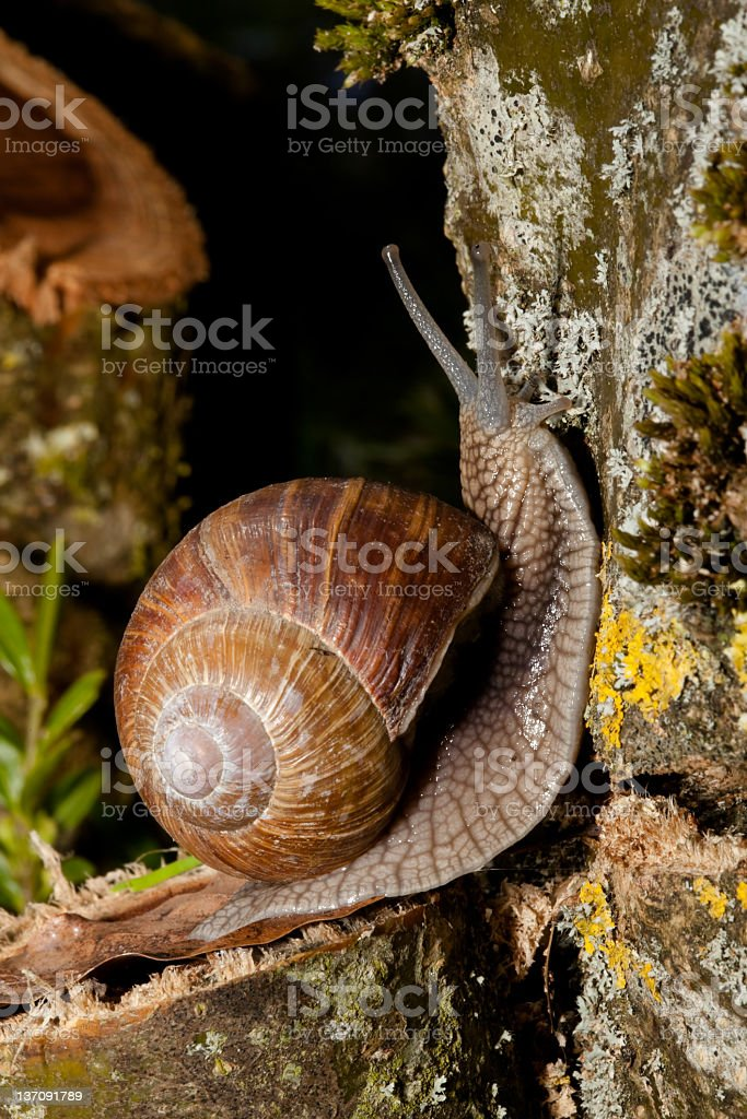 grapevine snail royalty-free stock photo
