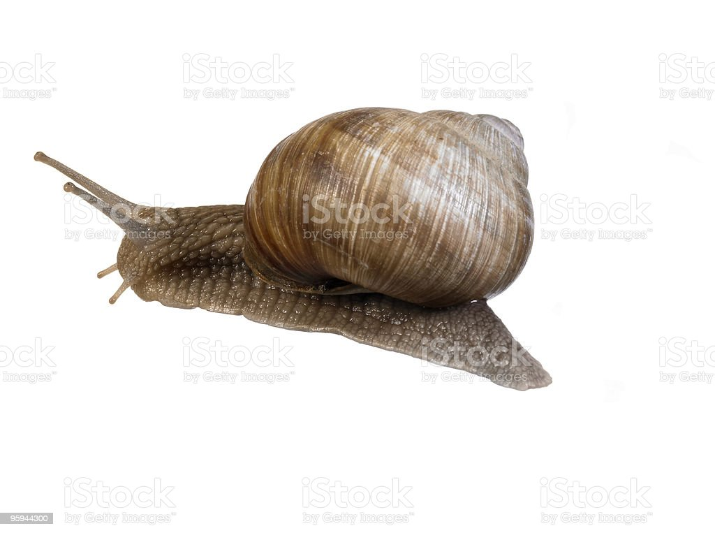 grapevine snail sideways royalty-free stock photo