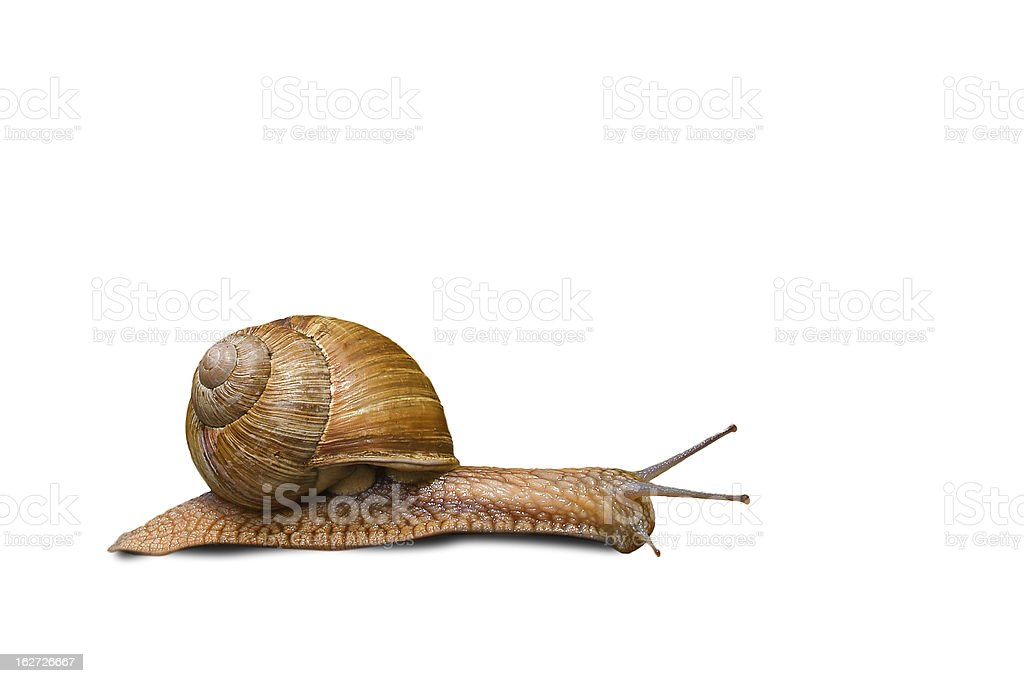 Grapevine Snail / Weinbergschnecke royalty-free stock photo