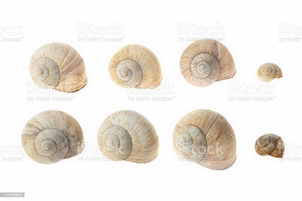 Grapevine snails stock photo
