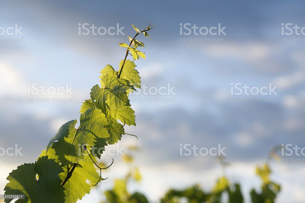 grapevine tendrils royalty-free stock photo