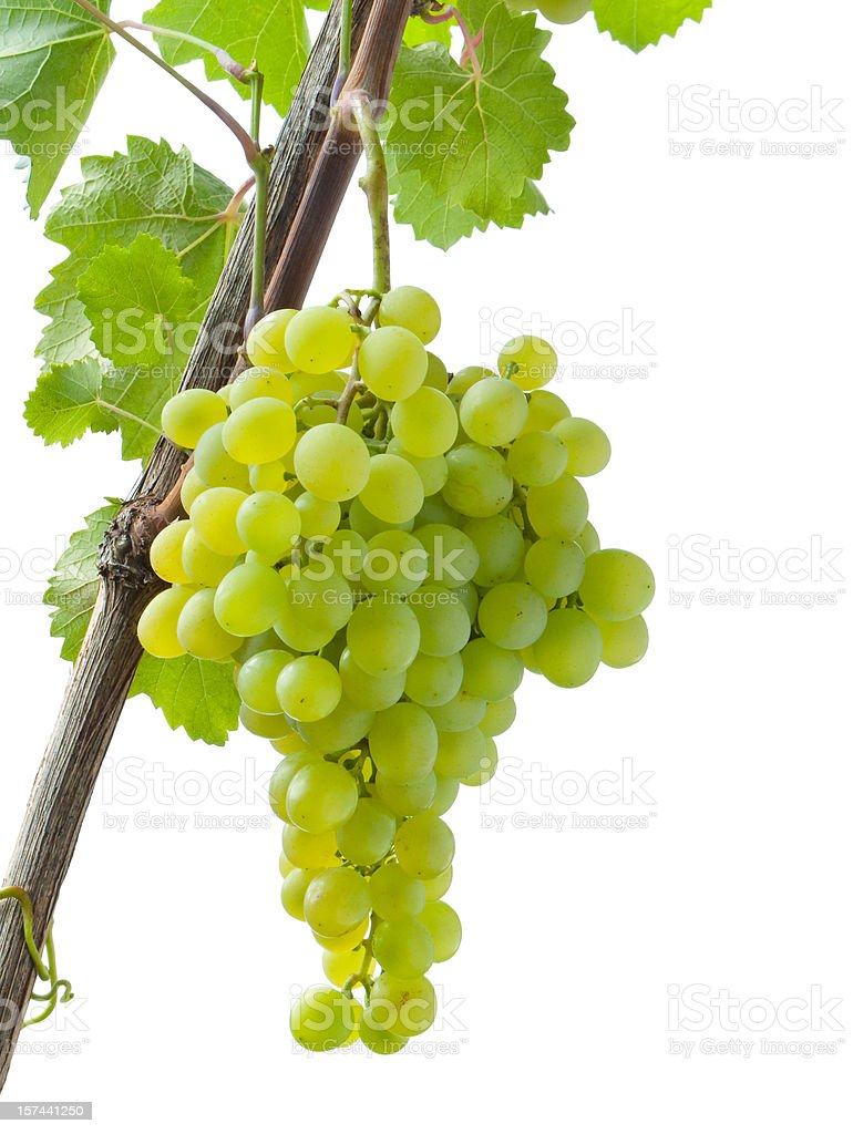 grapevine with cluster royalty-free stock photo
