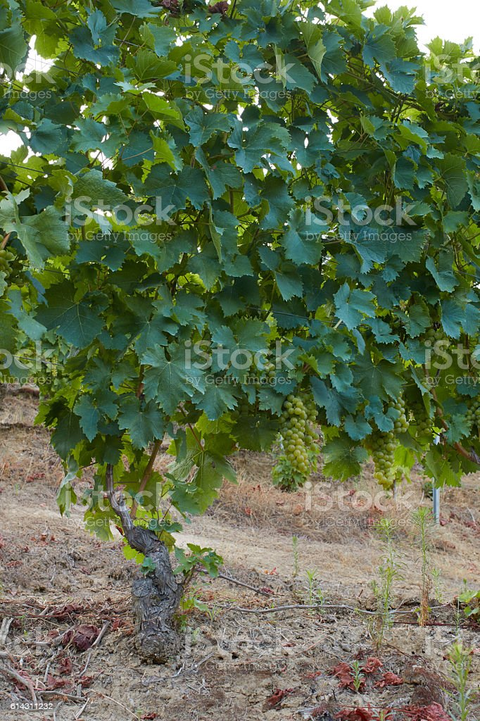 grapevine with many bunches of organic grapes stock photo
