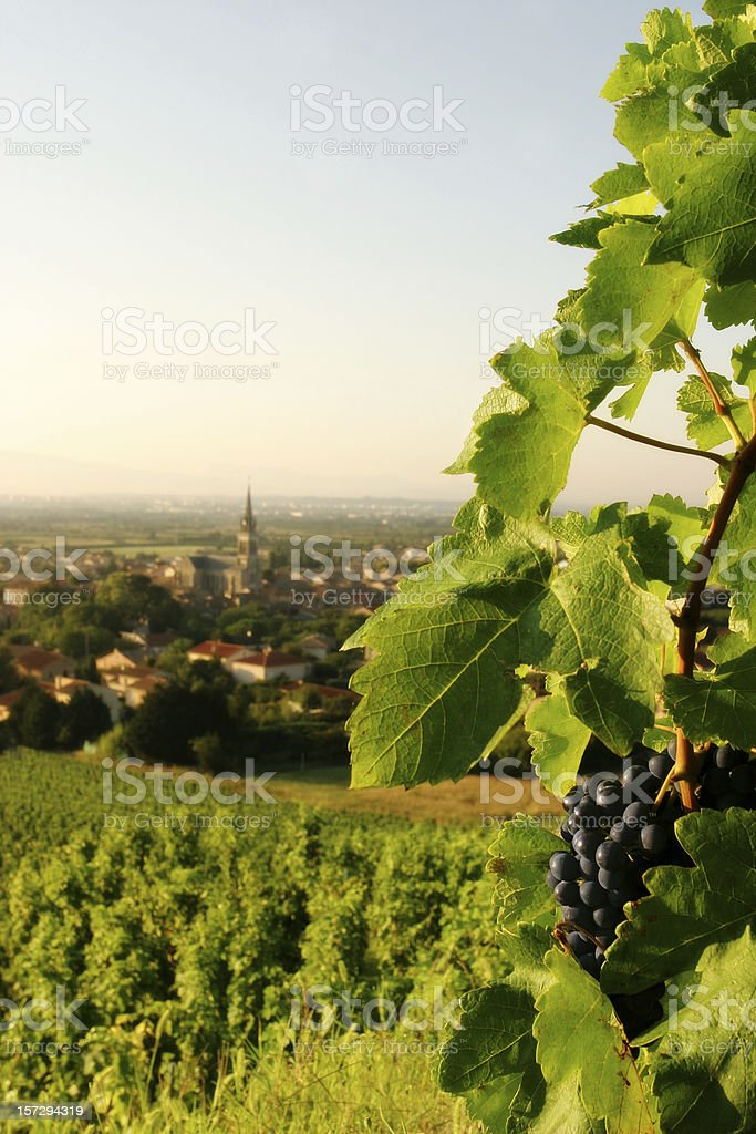 Grapevine with Wine Grapes Overlooking French Village stock photo