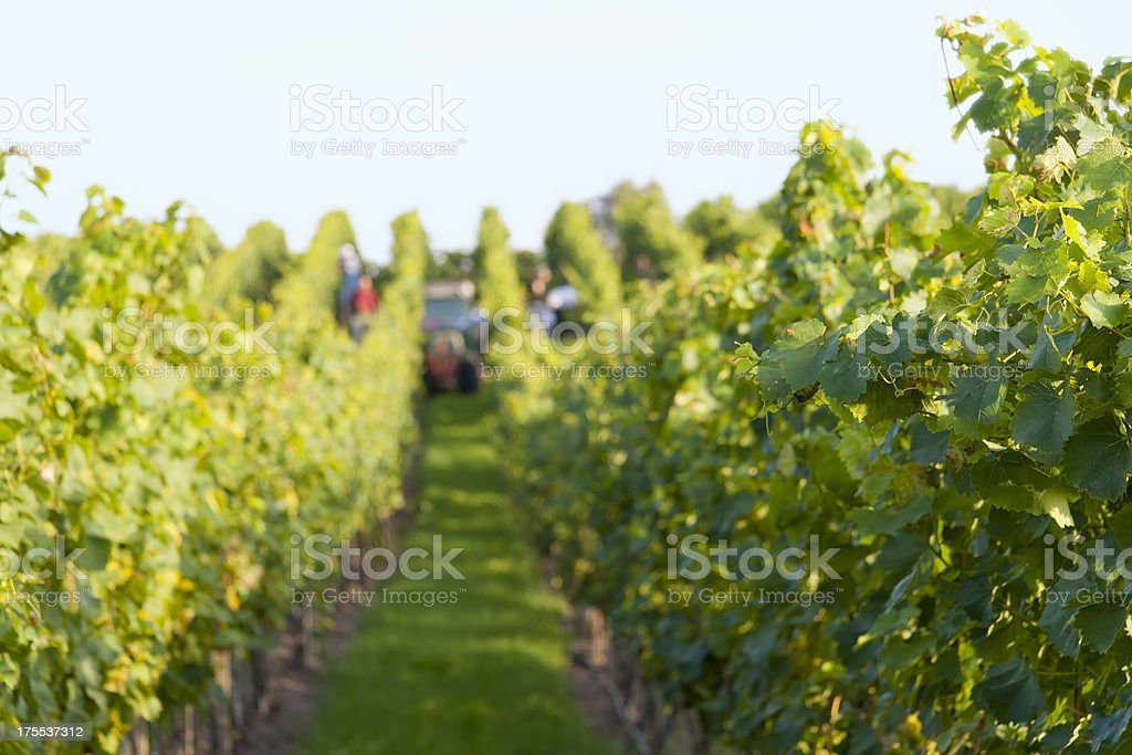 Grapevines in a Vineyard stock photo