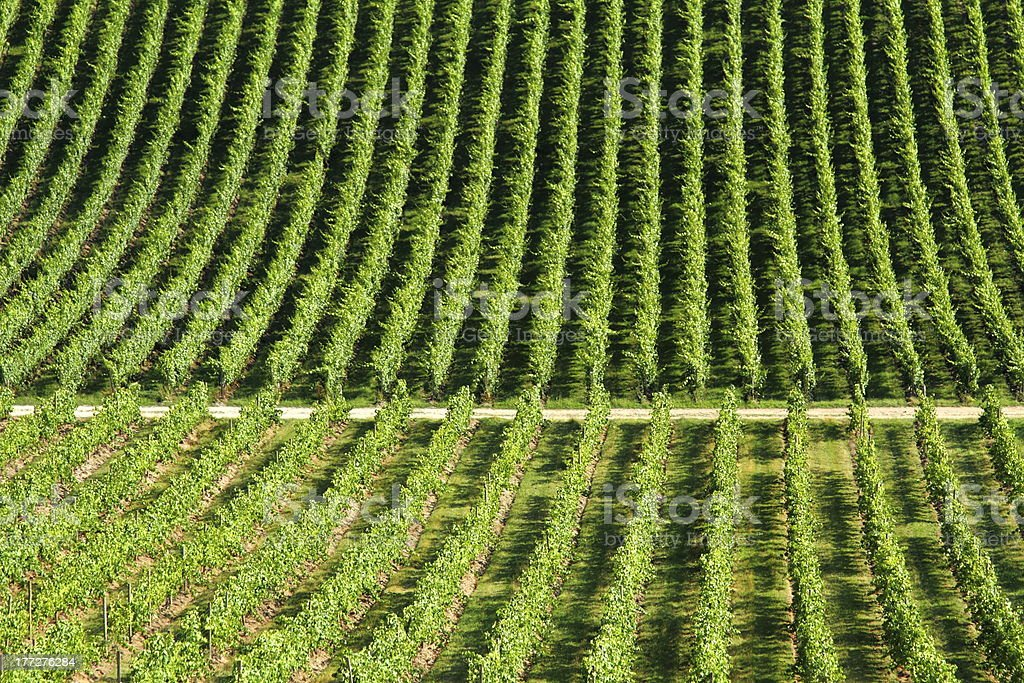 Grapevines in the Landscape stock photo