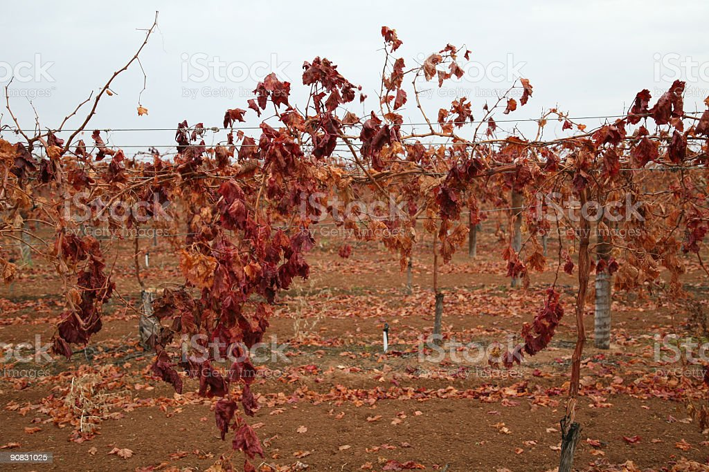 Grapevines in winter royalty-free stock photo