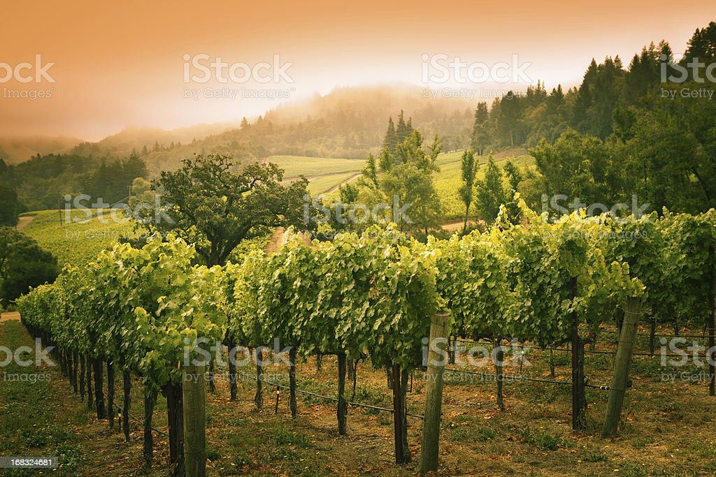 Grapevines Vineyard Sunset Landscape in Napa Valley Winery in California stock photo