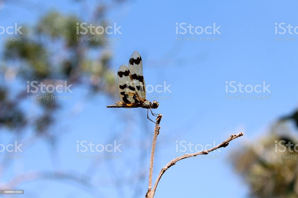 Graphic Flutterer Dragonfly in the Northern Territory of Australia stock photo
