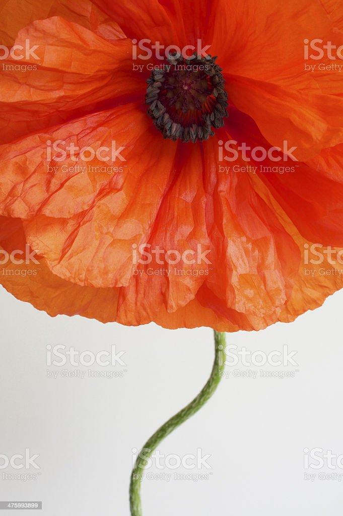 Graphic Poppy royalty-free stock photo