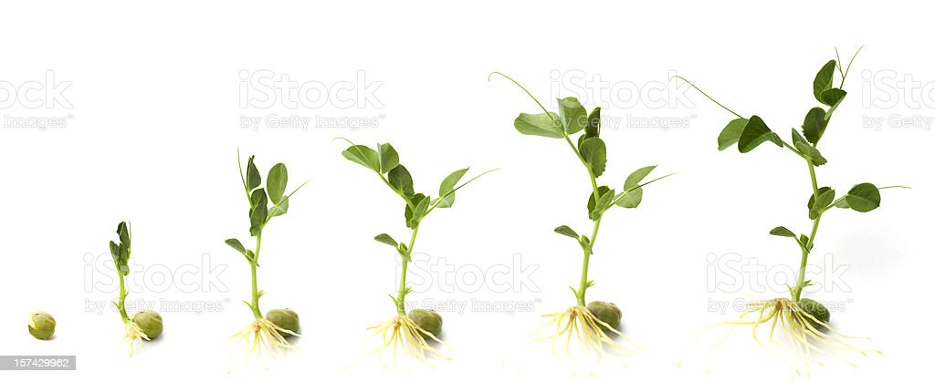 Graphic shows development of pea plant from when it sprouts stock photo