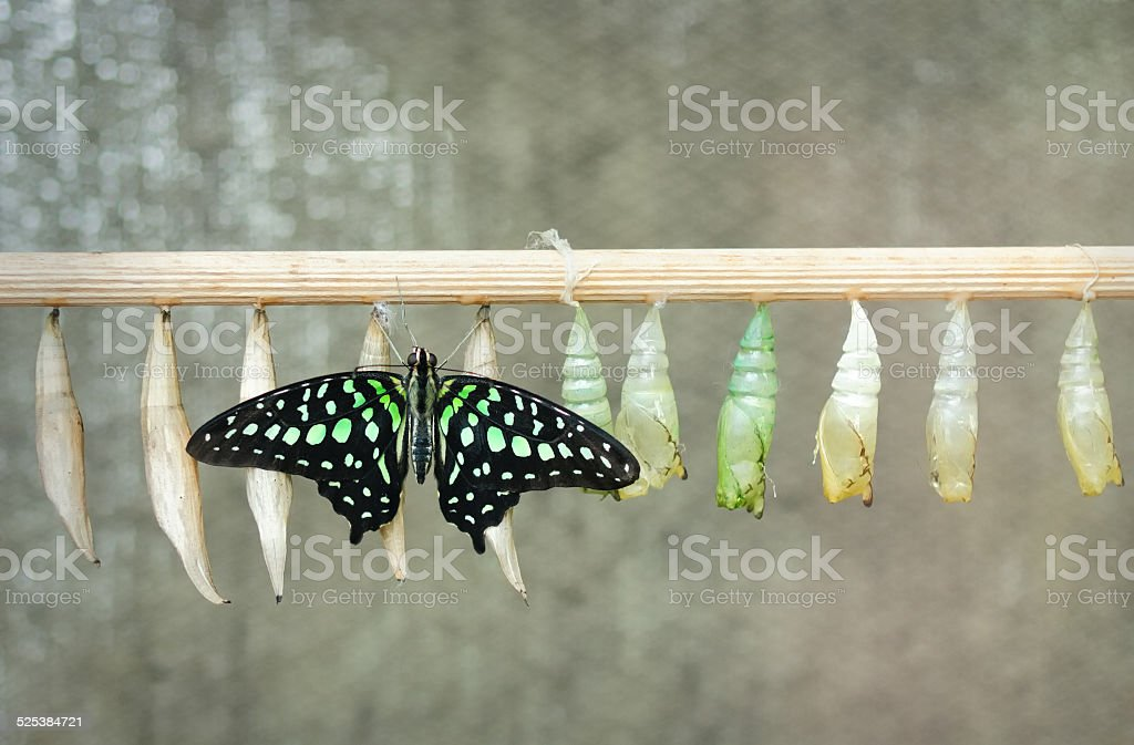 Graphium agamemnon (Tailed Jay) stock photo