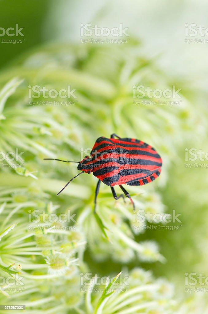 Graphosoma lineatum macro close-up stock photo